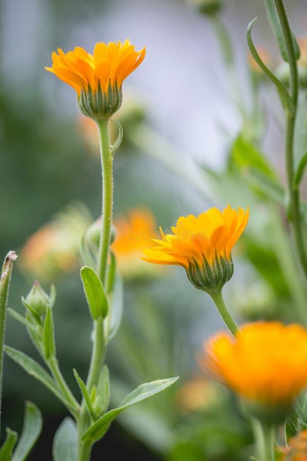 Fondo del verano con el campo de flores de la maravilla foto de archivo