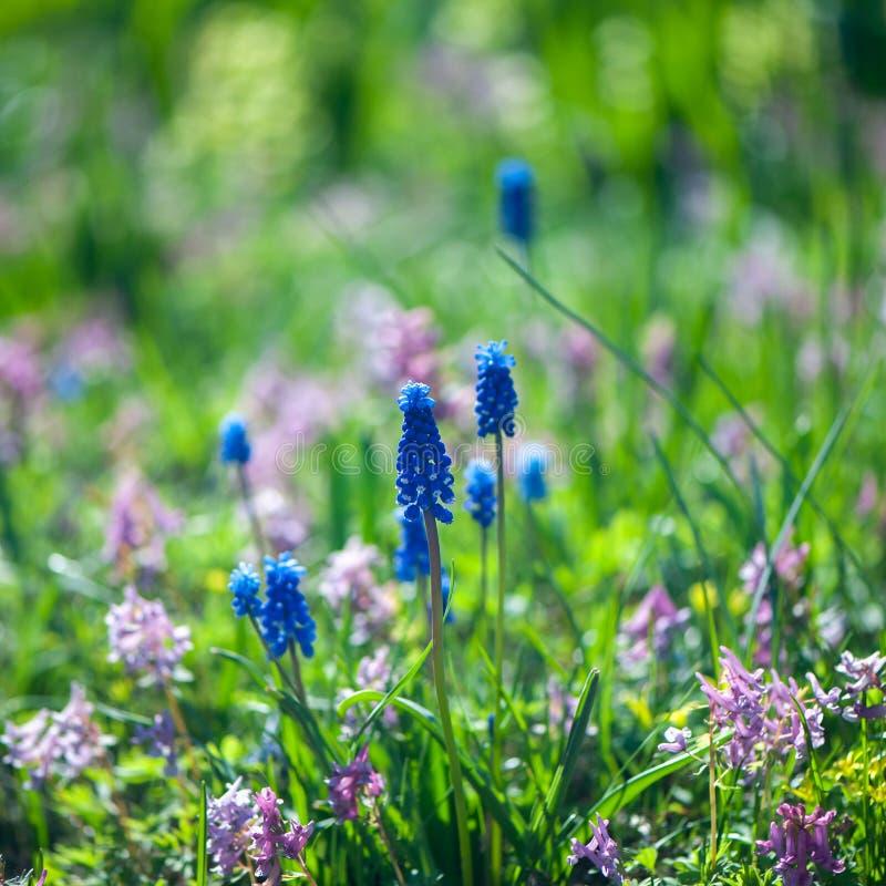 Fondo del verano de la primavera, jacinto azul floreciente en un claro verde fotografía de archivo