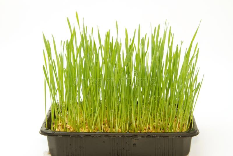 Fondo del verde del trigo del crecimiento imagen de archivo