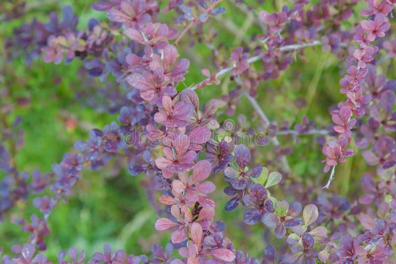 Fondo del verde del flor del amarillo de la rama del arbusto del Berberis del bérbero Arbusto del Berberis o del bérbero que flor imagen de archivo
