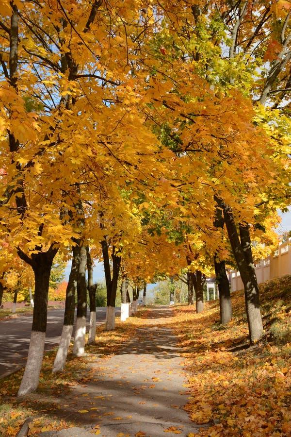 Fondo del vicolo dell'acero di autunno fotografia stock libera da diritti
