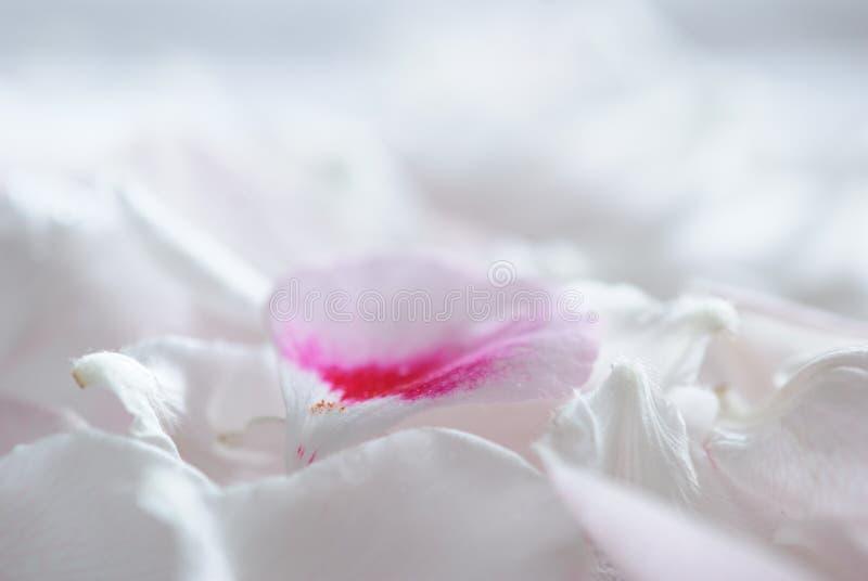 Fondo delicato di macro dei petali del fiore bianco fotografie stock