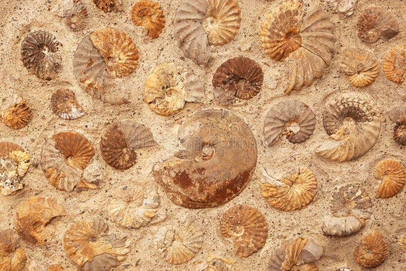 Fondo dell'ammonite fotografie stock libere da diritti