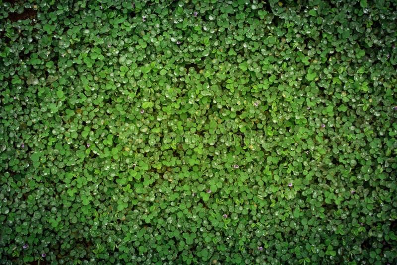 Fondo dell'erba verde, gocce di rugiada su erba fotografie stock libere da diritti