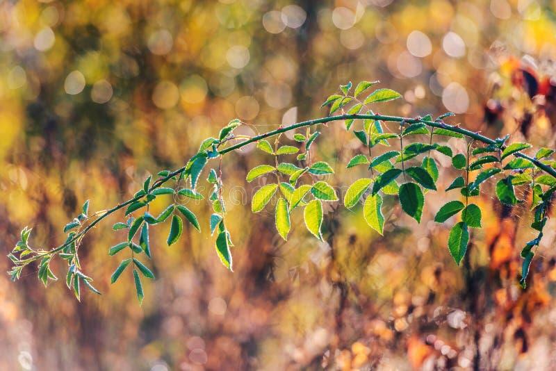 Fondo dell'estratto di autunno con il ramo verde del rovo in una rugiada di mattina fotografia stock libera da diritti