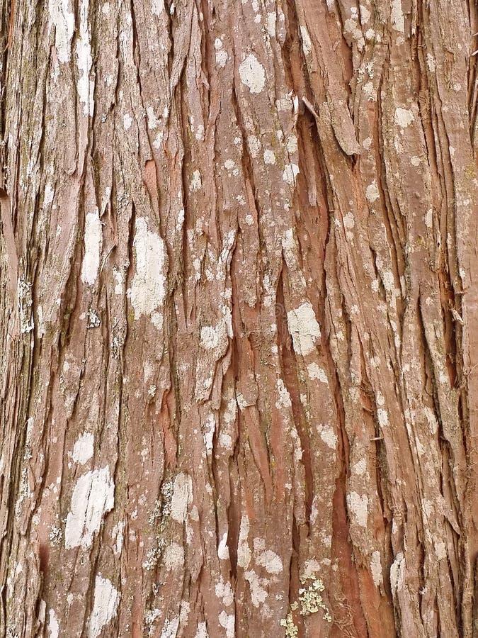 Fondo della corteccia della sequoia immagine stock libera da diritti