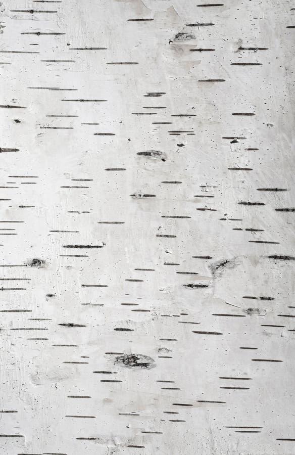 Fondo della corteccia di betulla fotografie stock libere da diritti