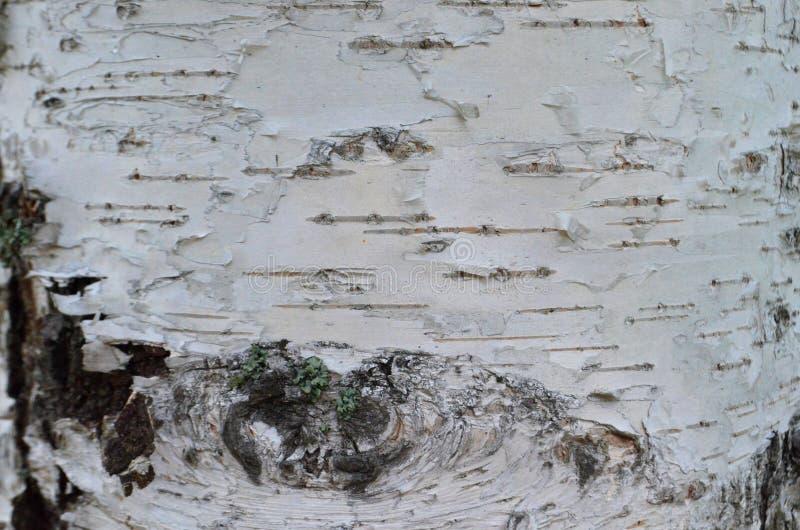 Fondo della corteccia di betulla per la copia ed il testo fotografie stock
