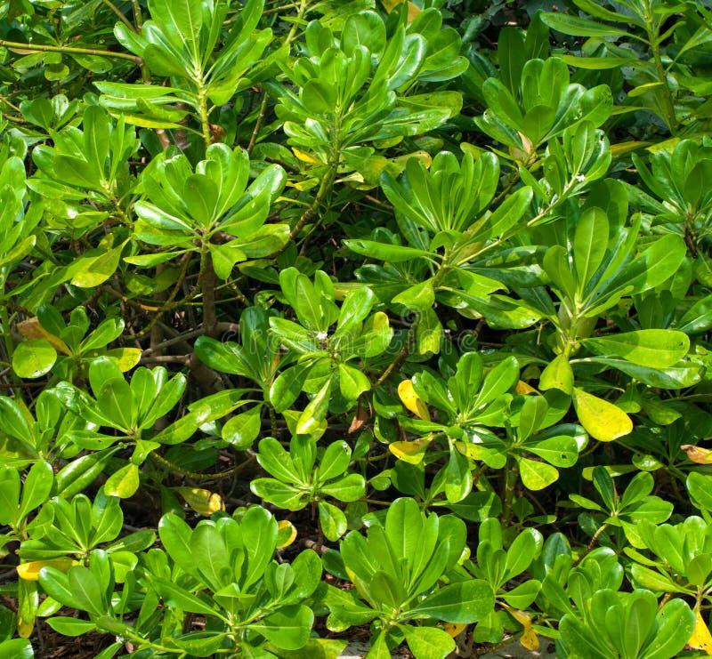 Fondo della foresta della mangrovia fotografia stock
