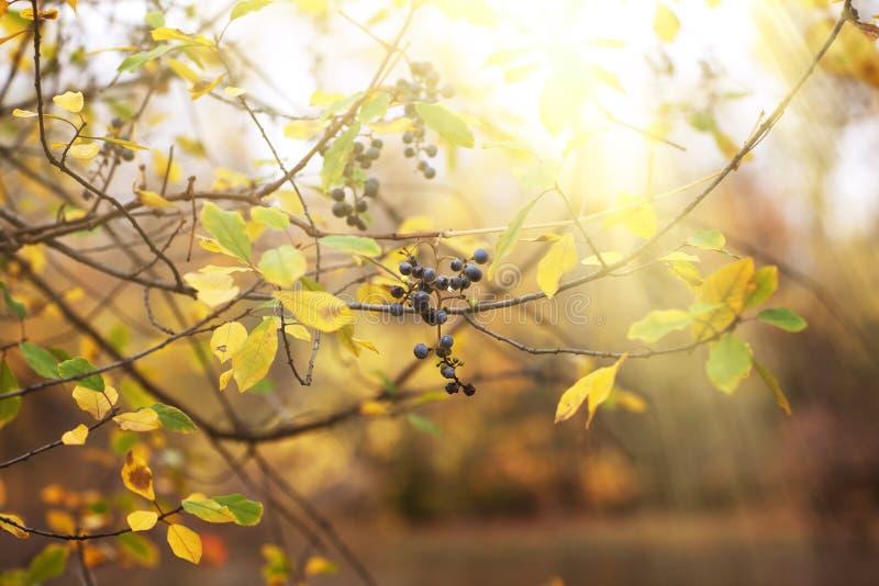 Fondo della foresta di autunno con l'uva selvaggia e rosso variopinto e y fotografie stock