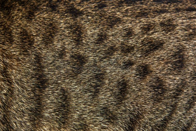 Fondo della lana del gatto di soriano immagini stock