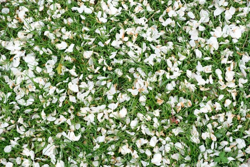 Fondo della molla naturale fatto dei petali dei fiori e dell'erba verde fotografia stock
