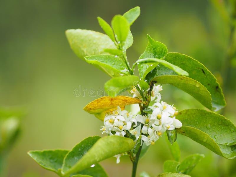 Fondo della natura dell'ortaggio da frutto del limone del fiore bianco immagini stock