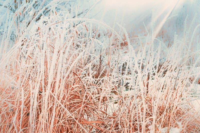 Fondo della natura di inverno con la fine su di erba congelata ed innevata immagine stock