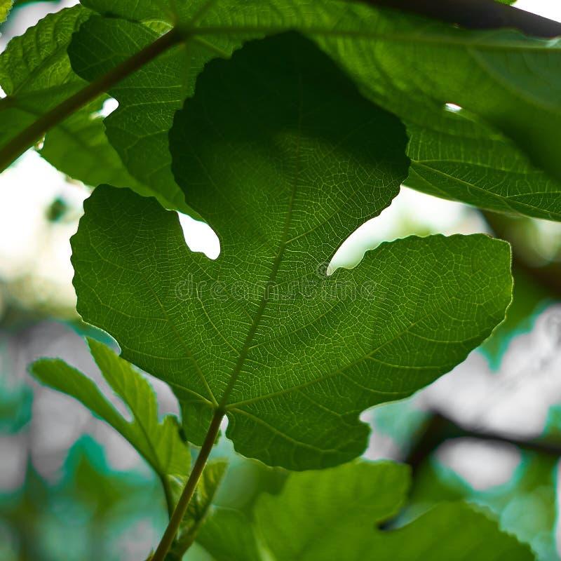 Fondo della natura, foglie verdi alla luce naturale ed ombra, simboliche di pacifico e di sicuro la terra o la vita o lo zen fotografia stock libera da diritti