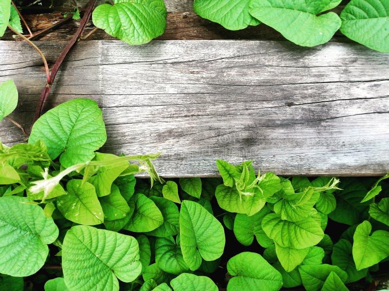 Fondo della parete con lo spazio della copia Struttura dei bordi anziani circondati dalle viti verdi nel giardino immagini stock libere da diritti