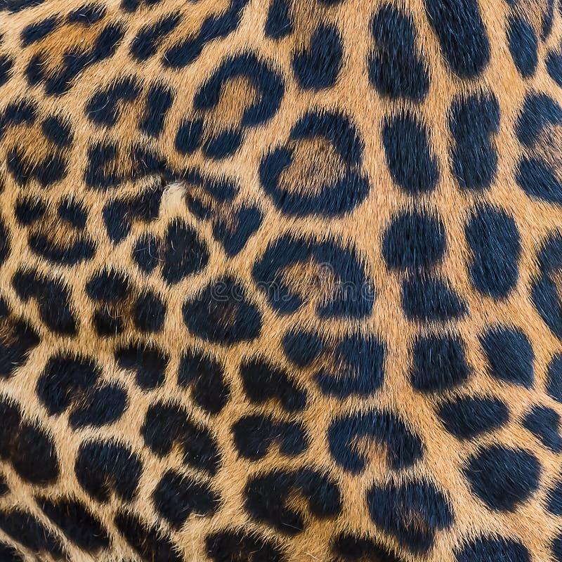 Fondo della pelliccia del leopardo immagini stock libere da diritti
