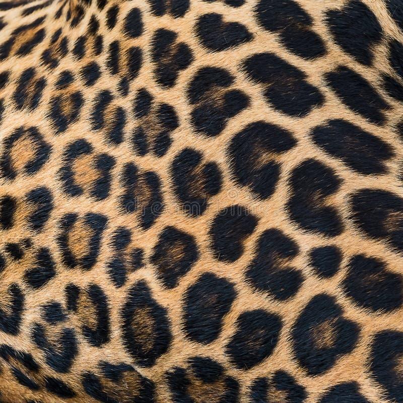 Fondo della pelliccia del leopardo fotografia stock libera da diritti