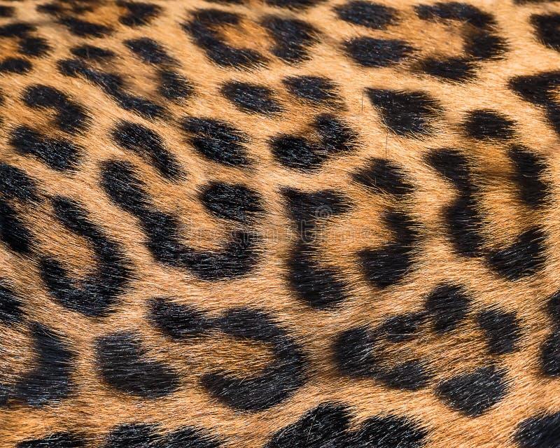Fondo della pelliccia del leopardo immagine stock libera da diritti