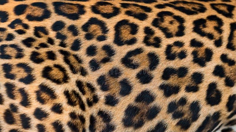 Fondo della pelliccia del leopardo fotografie stock libere da diritti
