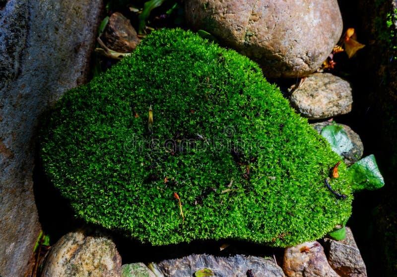 Fondo della pianta del muschio sulla pietra al pavimento in giardino fotografia stock