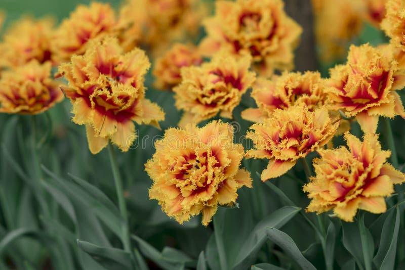Fondo della primavera con i tulipani gialli rossi fotografie stock