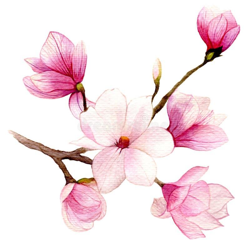 Fondo della primavera con il fiore della magnolia dell'acquerello fotografia stock