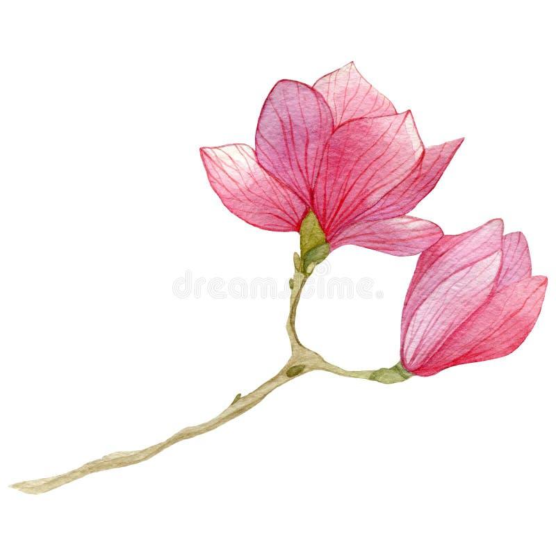 Fondo della primavera con il fiore della magnolia dell'acquerello Illustrazione botanica disegnata a mano illustrazione vettoriale