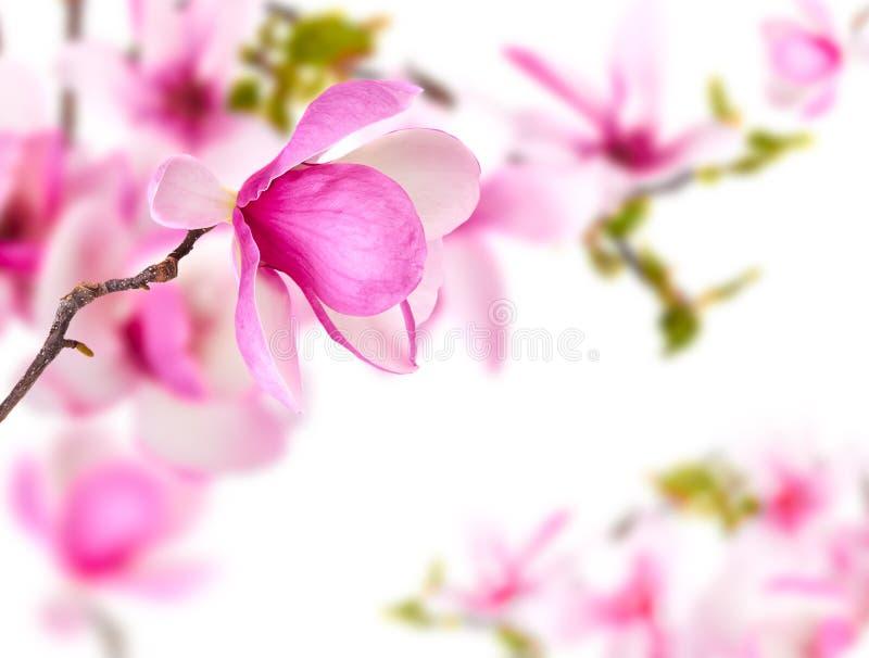 Fondo della primavera con la magnolia immagine stock libera da diritti