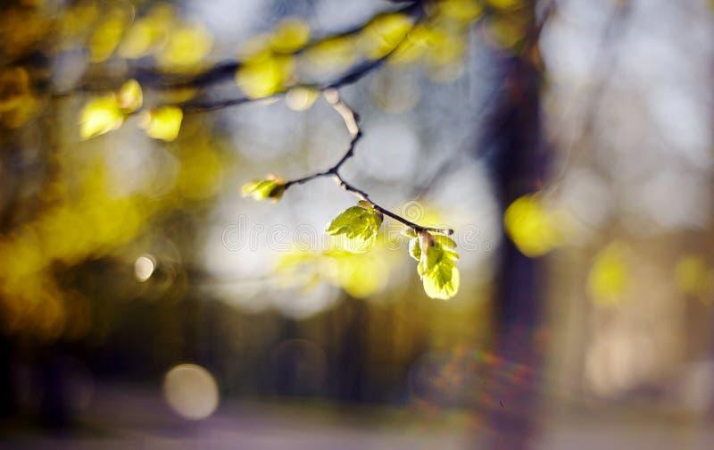 Fondo della primavera con le fughe verdi sui rami del cespuglio del tiglio immagine stock