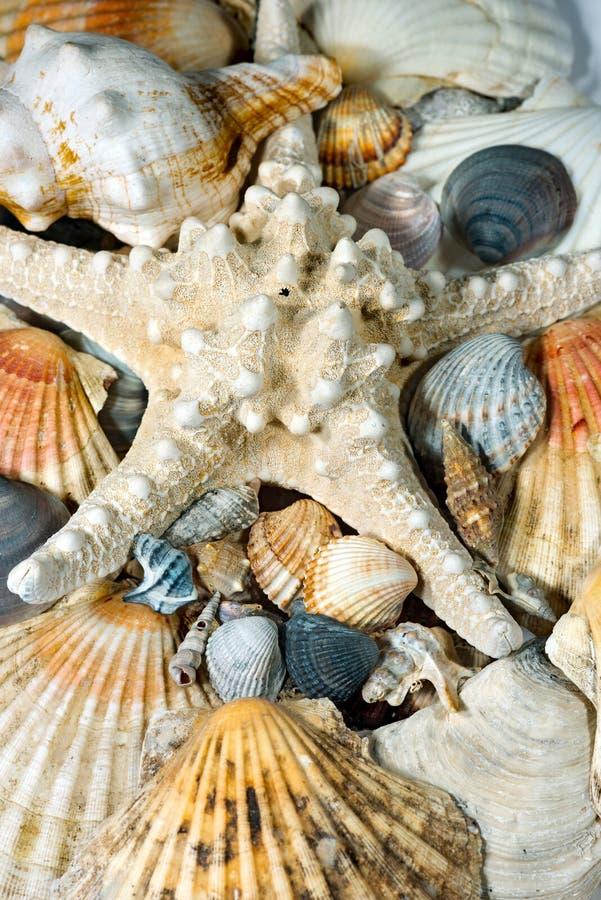 Fondo delle conchiglie e delle stelle marine fotografia stock libera da diritti