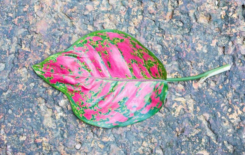 Fondo delle foglie di aglaonema fotografie stock libere da diritti