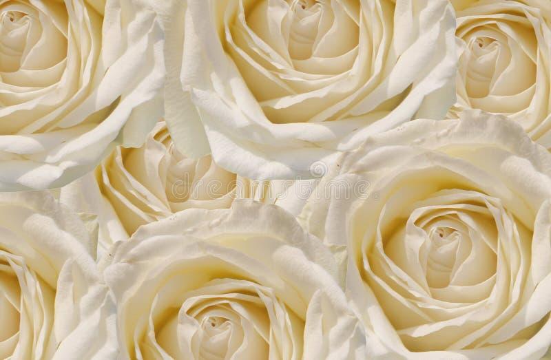 Fondo delle rose immagini stock libere da diritti