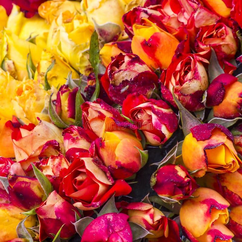 Fondo delle rose fotografia stock