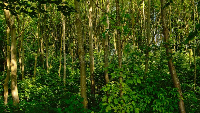 Fondo denso del desierto del bosque con los shrurbs soleados y los troncos de árbol jovenes fotografía de archivo