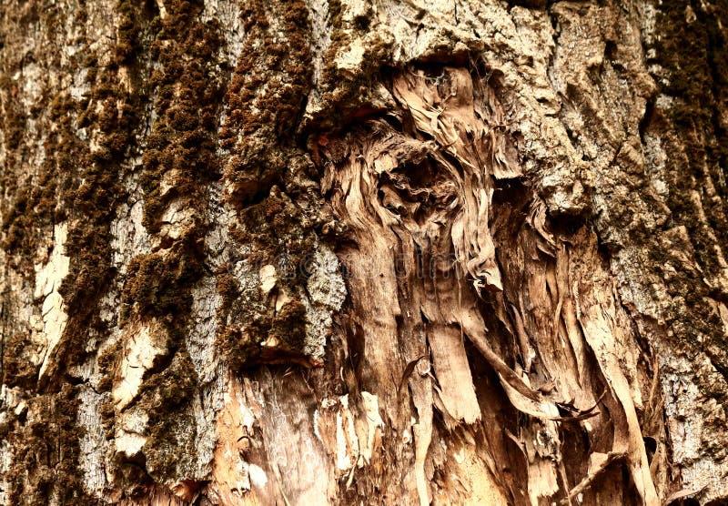 Fondo desecado y que se agrieta de la textura de la corteza de árbol fotos de archivo