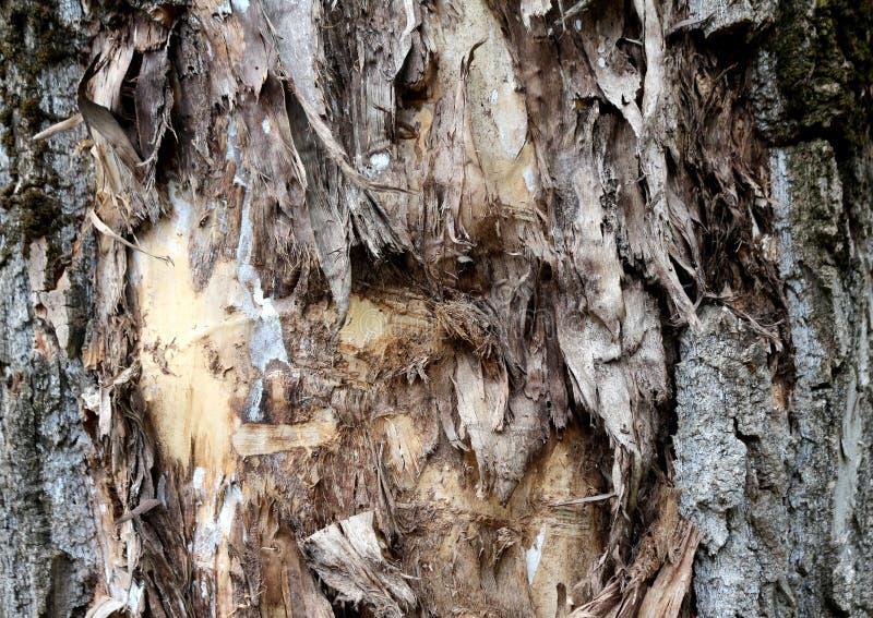 Fondo desecado y que se agrieta de la textura de la corteza de árbol fotografía de archivo libre de regalías