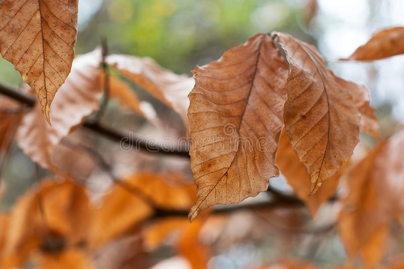 Fondo di Autumn Foliage Soft Focused Bokeh fotografie stock