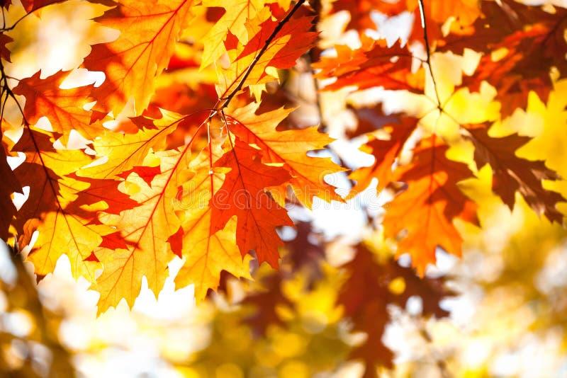Fondo di autunno con il ramo rosso del fogliame della quercia La caduta luminosa lascia il primo piano Bella foresta variopinta d immagini stock libere da diritti