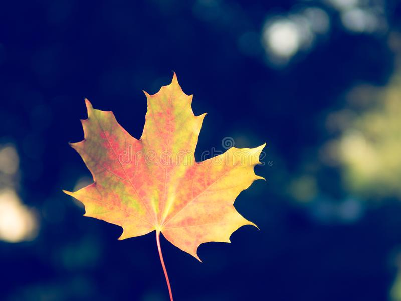 Fondo di autunno con singola la foglia gialla e rossa luminosa in Ce immagine stock