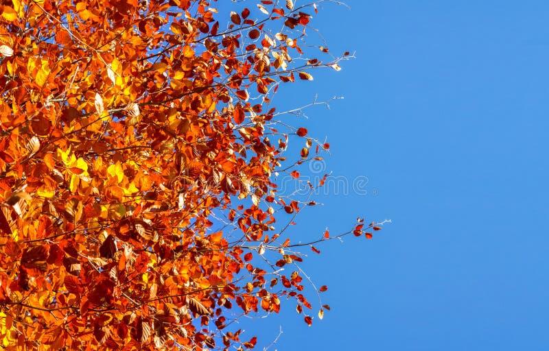 Fondo di autunno con un albero e le foglie e un cielo blu dorati immagini stock