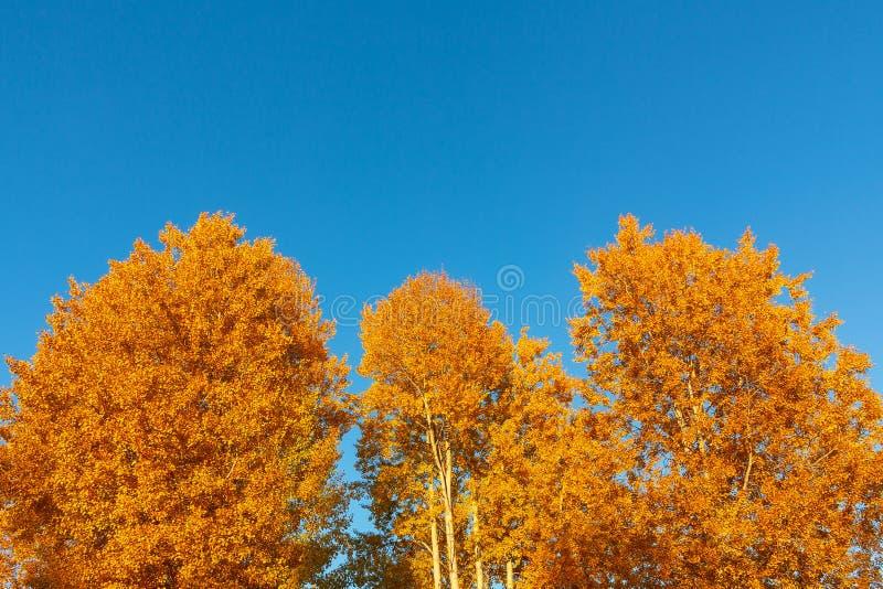 Fondo di autunno - corone giallo arancione degli alberi contro un fondo di cielo blu pulito fotografia stock