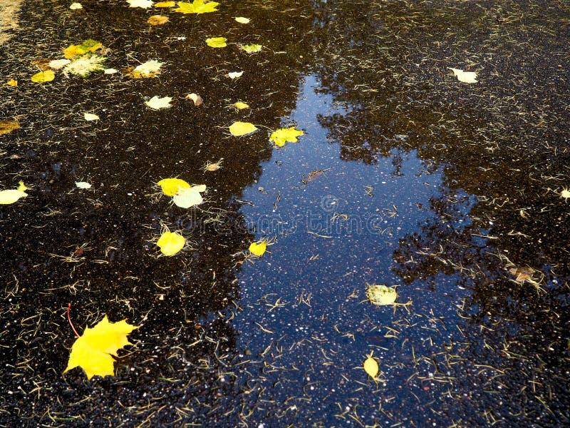 Fondo di autunno - il marple giallo va sulla strada asfaltata nera con lo spazio della copia per testo Fondo di caduta Struttura  fotografia stock