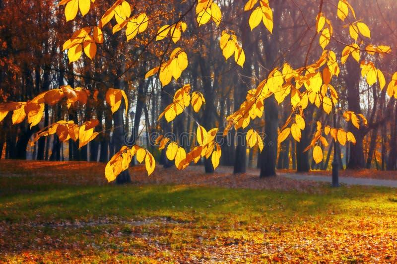 Fondo di autunno - rami di albero ingialliti con fogliame dorato sui precedenti del vicolo del parco della città nella sera soleg fotografia stock