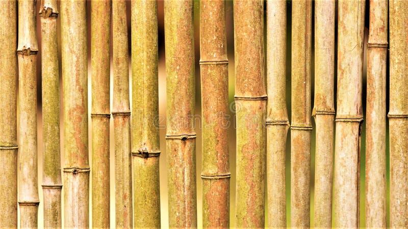 Fondo di bambù del recinto, primo piano di legno naturale della parete fotografia stock