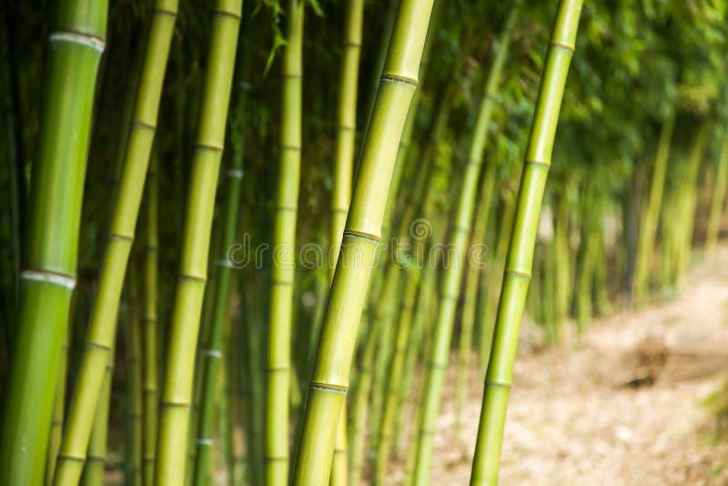 Fondo di bambù della foresta immagine stock