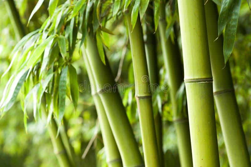 Fondo di bambù della foresta immagine stock libera da diritti