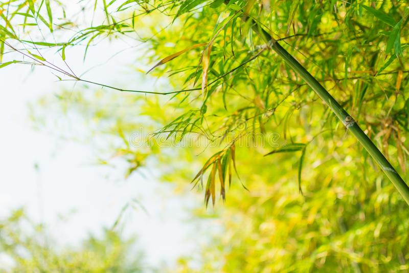 Fondo di bamb? dell'albero fotografie stock libere da diritti