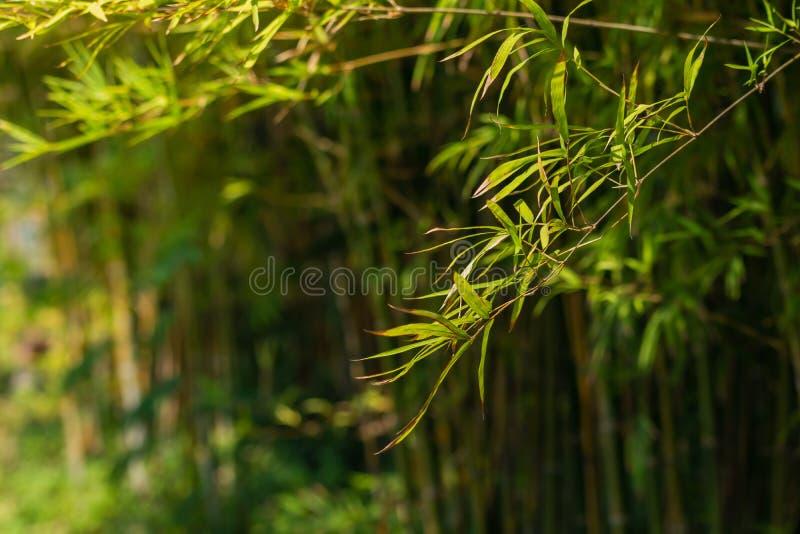 Fondo di bamb? dell'albero immagini stock