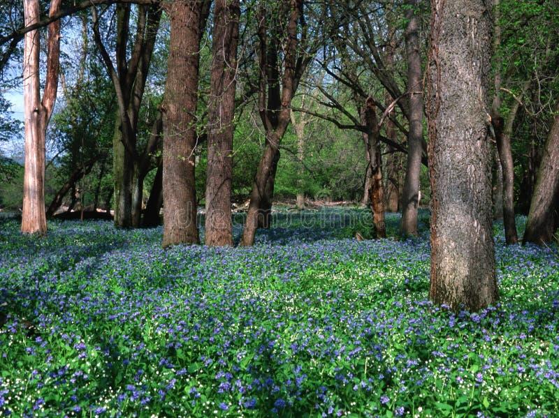 Fondo di Bell blu in primavera lungo il fiume della radice nel Minnesota immagini stock